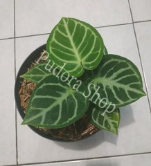 Pudora Shop - Anthurium Dorayaki