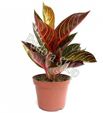Pudora Shop - Aglaonema Pride of Sumatra