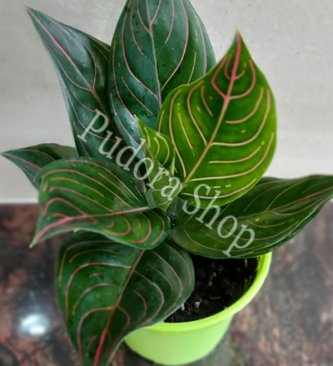 Pudora Shop - Aglaonema Rotundum