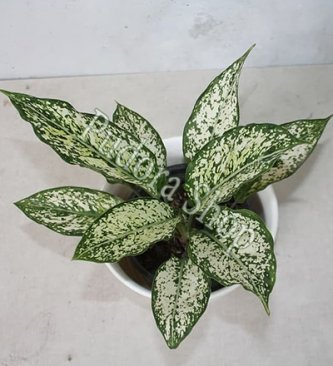 Pudora Shop - Aglaonema Snow White