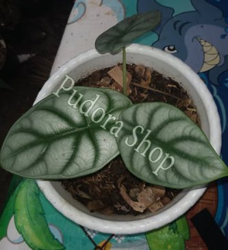 Pudora Shop - Alocasia Silver Dragon