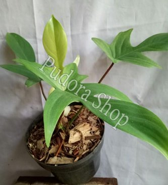 Pudora Shop - Philodendron Florida Ghost
