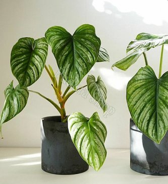 Pudora Shop - Philodendron Mamei