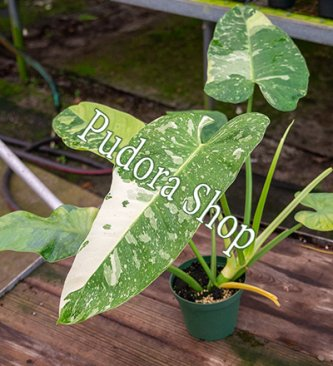 Pudora Shop - Philodendron Jose Buono
